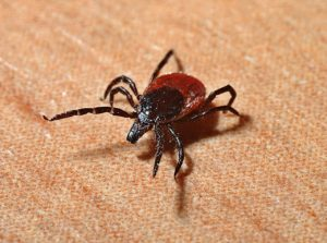 Lyme disease is commonly transmitted through tick bites
