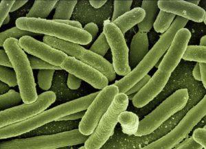 koli-bacteria